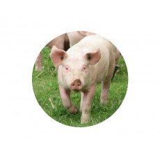 Farmyard Animals - Pig Acrylic Button